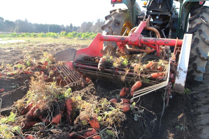トラクターでジュース用無農薬人参の収穫