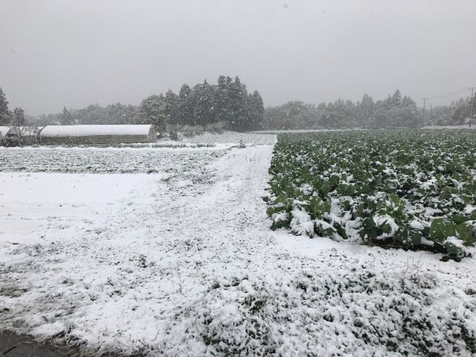 無農薬人参畑に季節外れの雪が降りました。