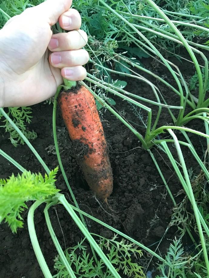 ジュース用の無農薬人参を試し掘りしました。
