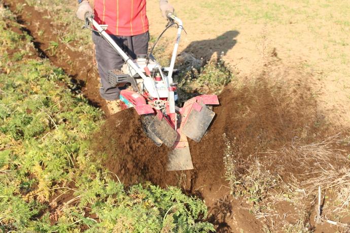 ジュース用無農薬人参畑の土掛け作業